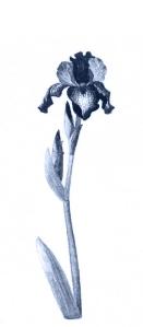 Iris-in-Paynes-Grey